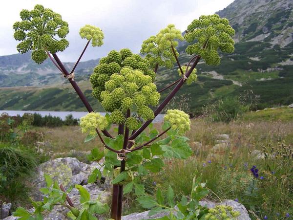 Медоносное растение дягиль лекарственный