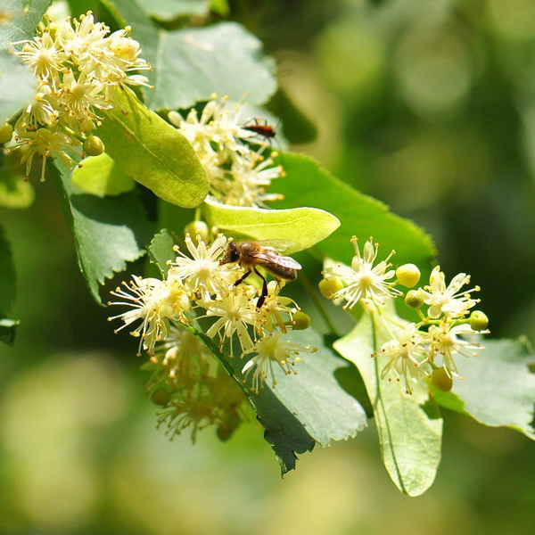 Пчела на липовом дереве