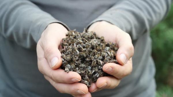 Пчелиный подмор: вред и польза, полезные свойства