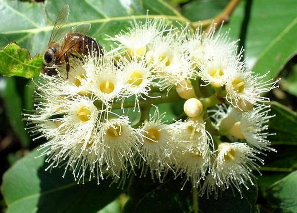 Пчела на цветах эвкалипта